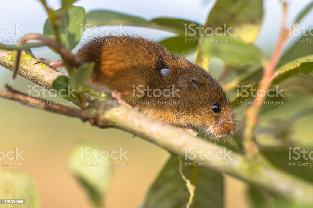 Eurasian Harvest mouse with Tick stock photo
