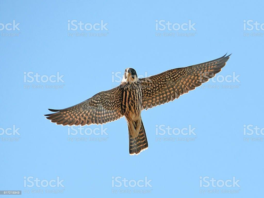 Eurasian hobby (Falco subbuteo) stock photo