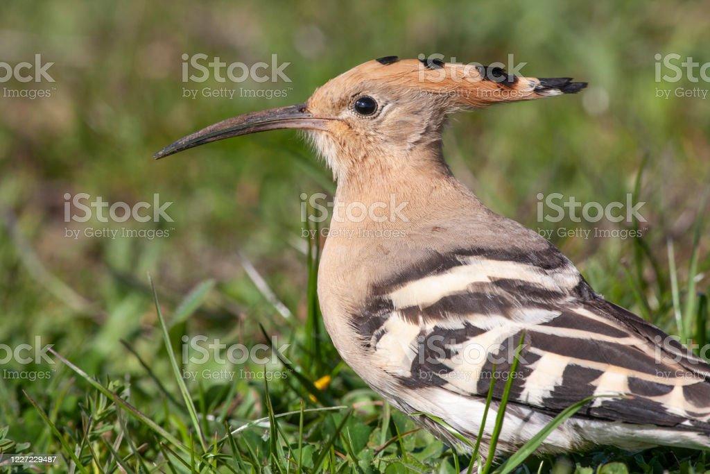 Eurasian Hoopoe Bird In The Natural Habitat Stock Photo Download Image Now Istock