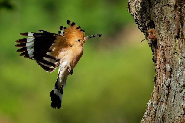 Eurasian Hoopoe (Upupa epops) feeding it's chicks Eurasian Hoopoe (Upupa epops) feeding it's chicks captured in flight. eurasia stock pictures, royalty-free photos & images