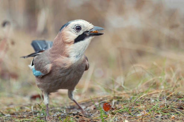 Eurasian jay, Garrulus glandarius, sitting on the ground with a peanut in its beak stock photo