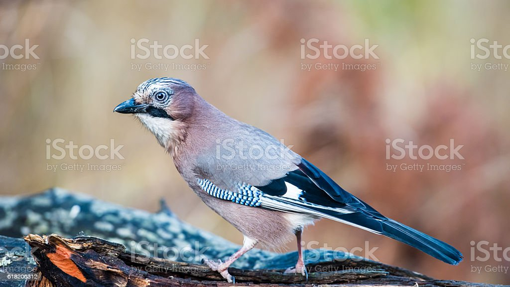 Eurasian Jay in Profile stock photo