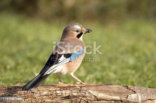 Eurasian Jay in a meadow