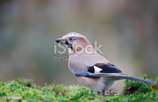 L 32-35 cm, WS 54-58 cm. Breeds in various types of woodland, both coniferous and deciduous, and in larger wooded parks. Prefers areas with acorns (secondarily beech nuts, hornbeam seeds), which are cached in autumn as winter food; shipments high up with crop full of acorns can extend over several kilometers. Mostly resident, but N populations migrate S and SW in some autumns. Vigilant and shy, difficult to approach. Omnivore; summer diet includes a good many eggs and young of small birds. Nests usually in tree.  This is a common Species in the Dutch Forests and Parks.