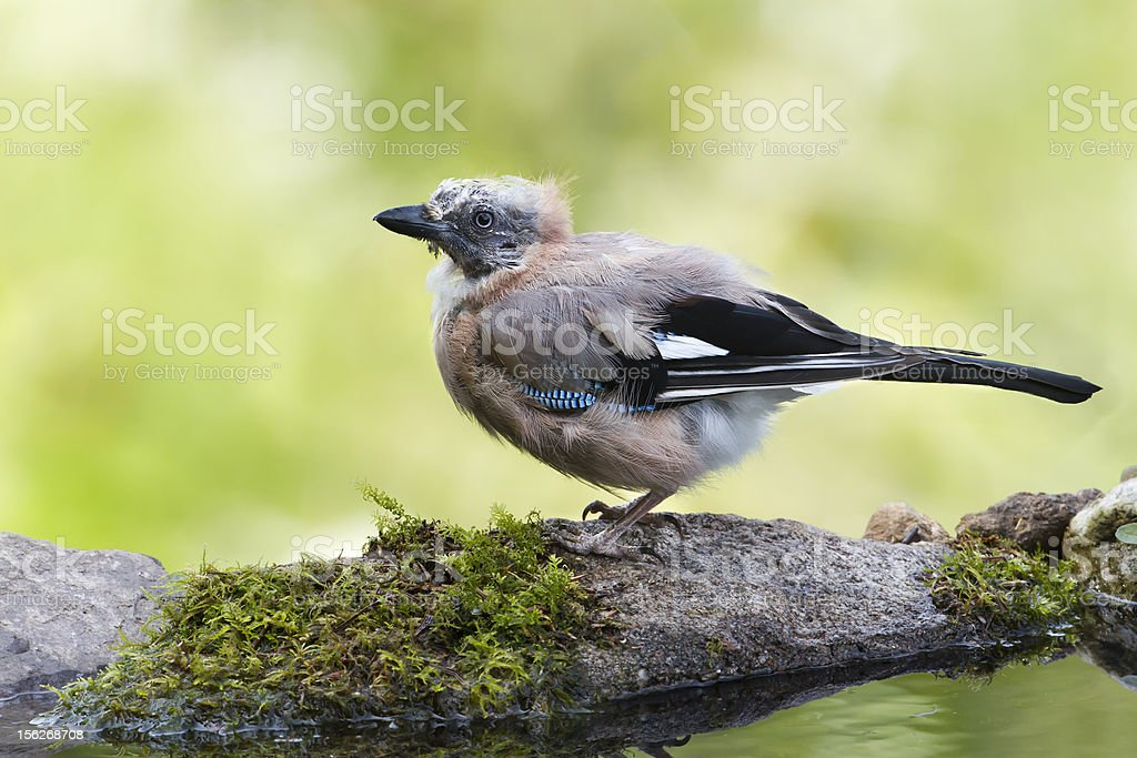 Eurasian Jay who moved after bathing in Vosges, France stock photo