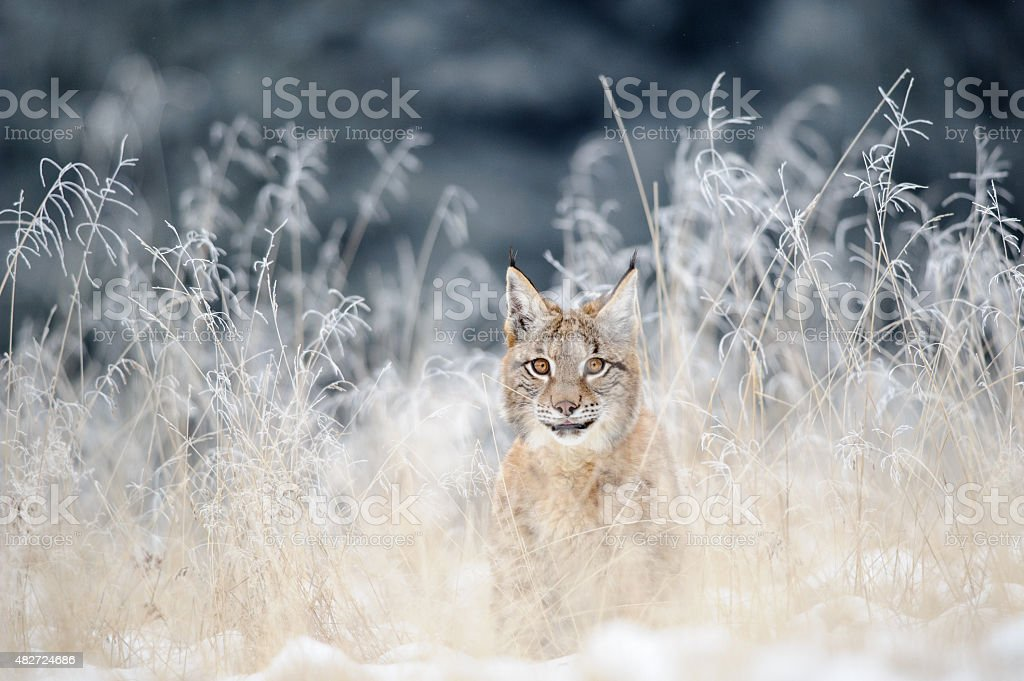 Eurasian lynx cub hidden in high yellow grass with snow stock photo