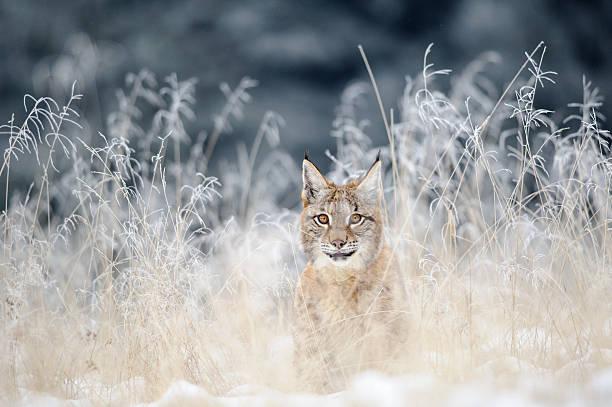 Eurasischer Luchs cub versteckte in hohem Gras mit Schnee in der gelben Zone – Foto