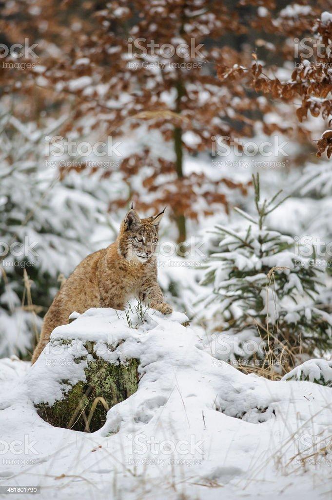 Eurasischer Luchs cub liegen farbenprächtige Wald im winter mit Schnee – Foto