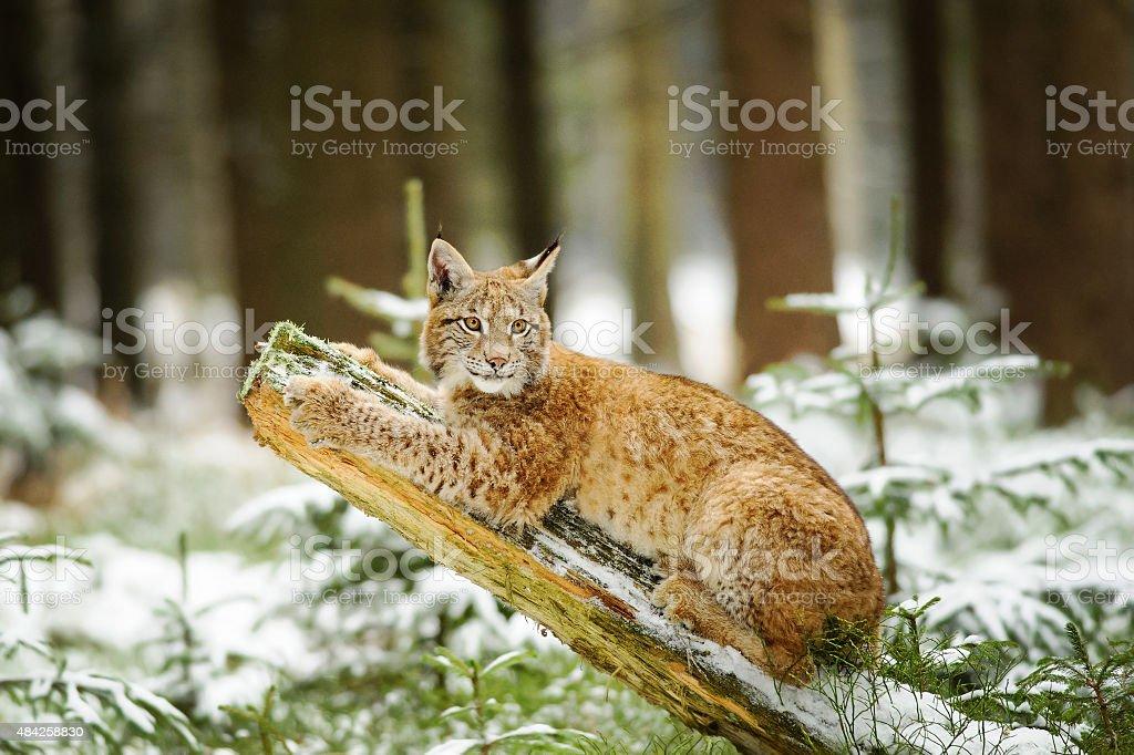 Eurasischer Luchs cub liegen am Stamm im winter forest – Foto