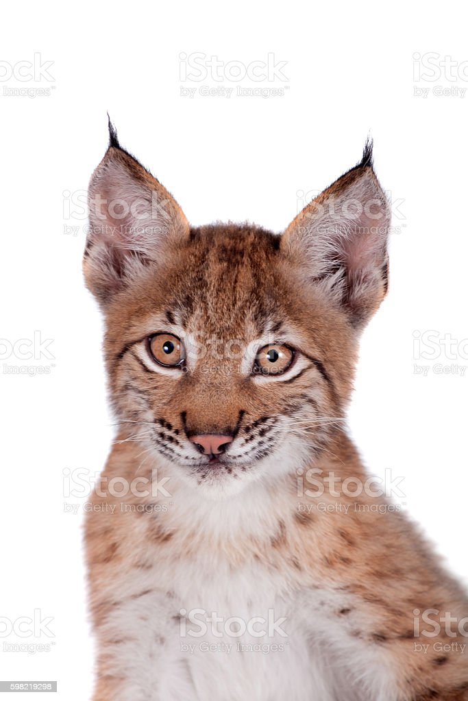 Eurasian Lynx cub on white foto royalty-free