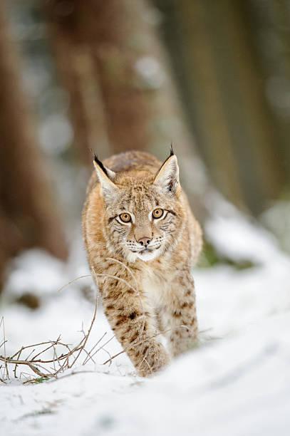 Eurasian lynx cub walking on snow in forest stock photo