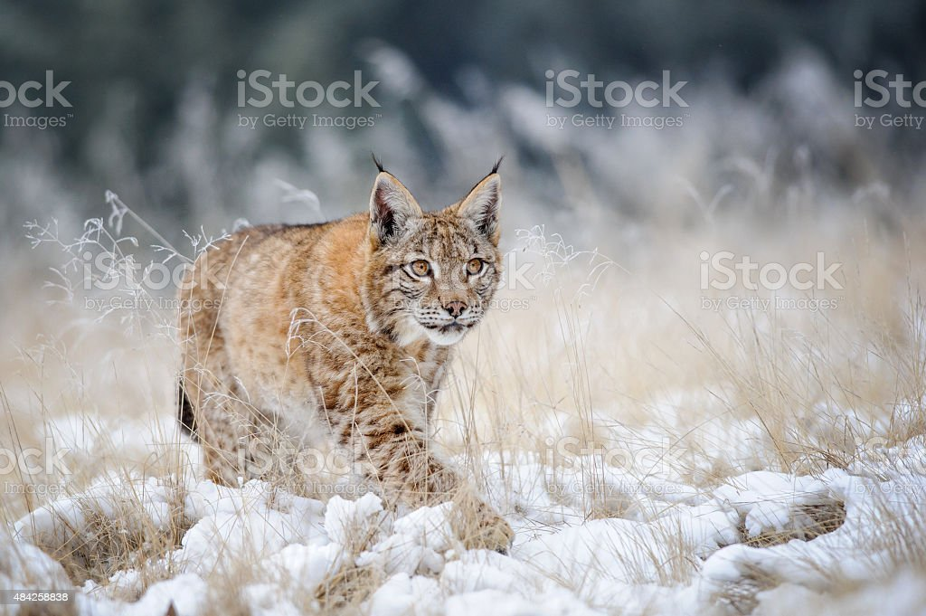 Eurasian lynx cub walking on snow with high yellow grass stock photo