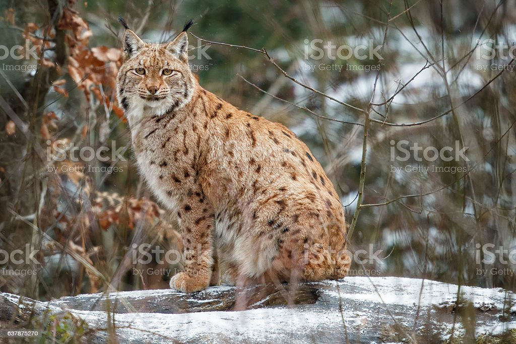 Eurasian lynx in the bavarian national park in eastern germany stock photo
