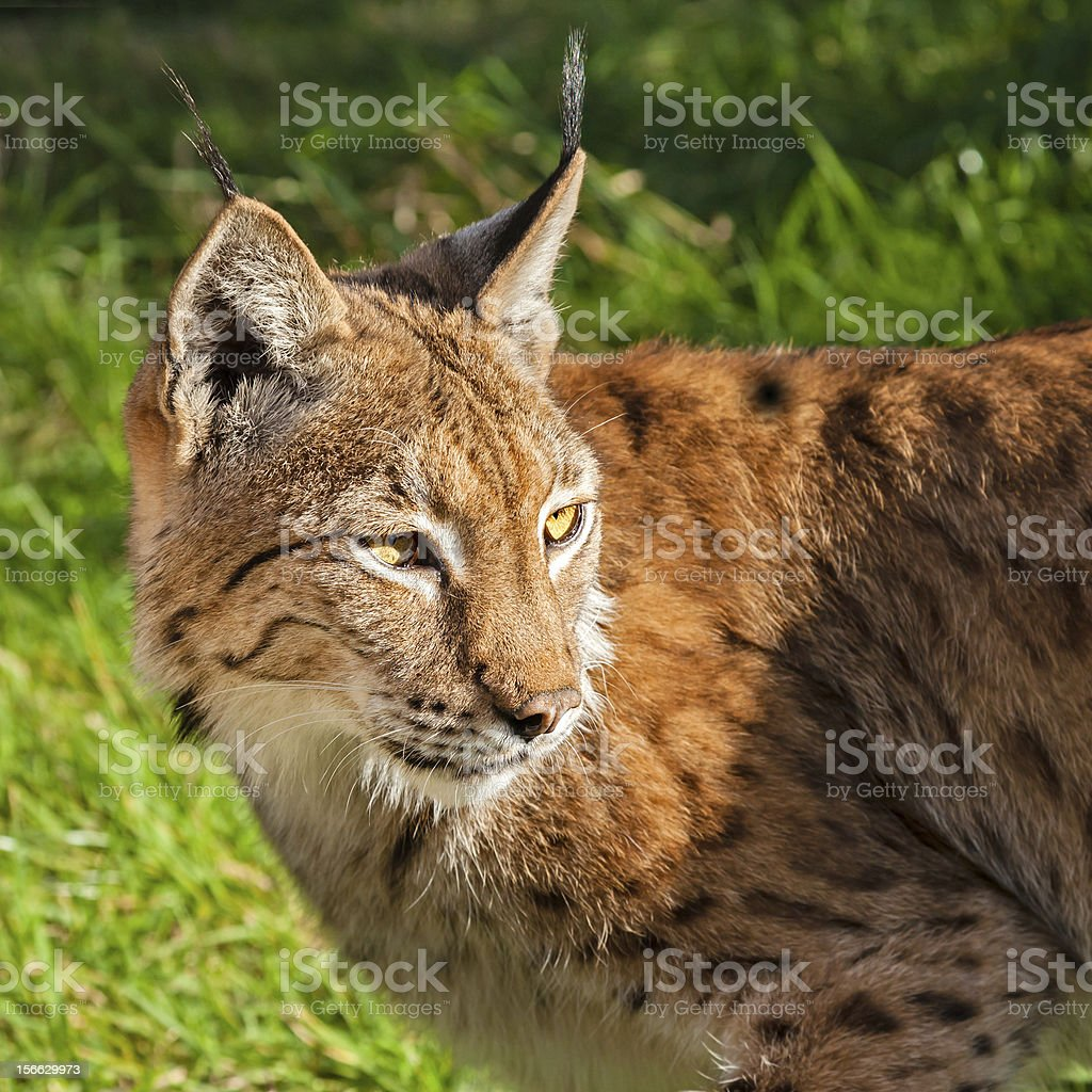 Eurasian Lynx Looking Over Shoulder stock photo