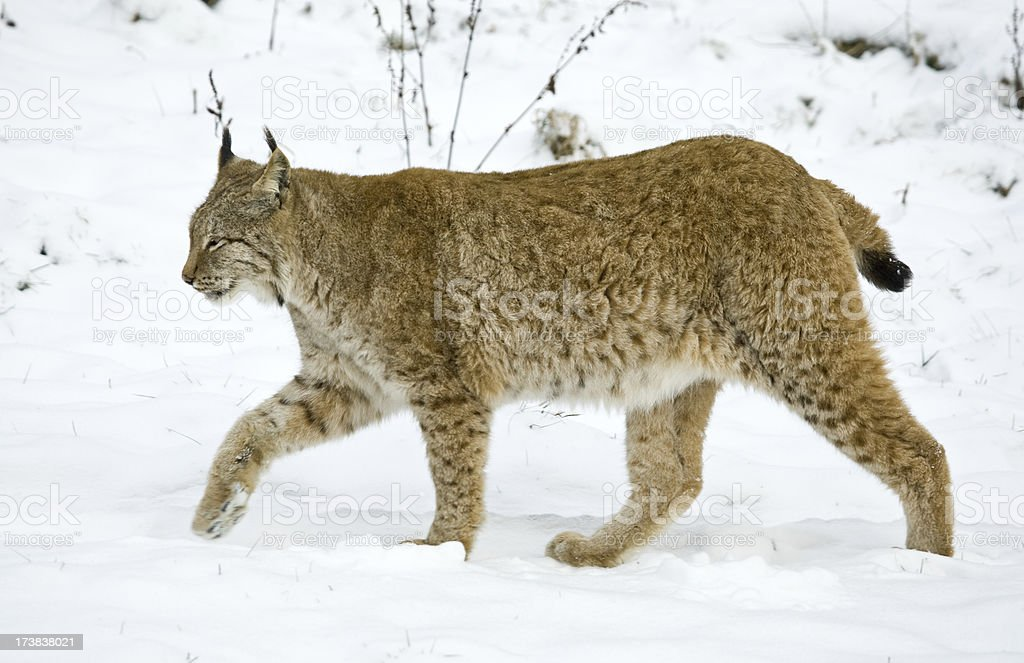 Eurasian Lynx royalty-free stock photo