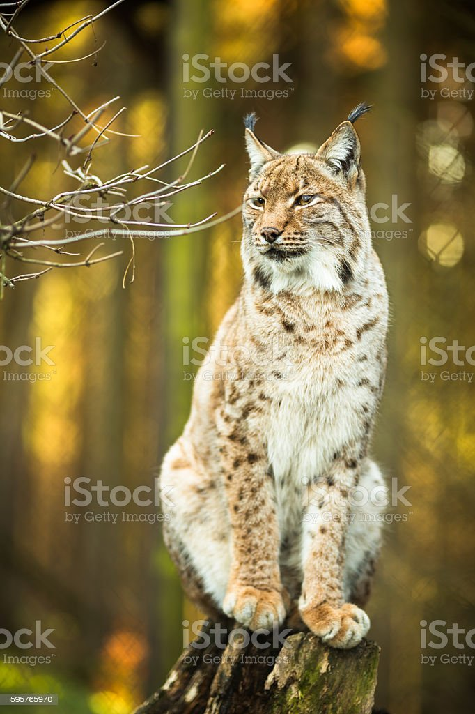 Eurasian Lynx (Lynx lynx) stock photo