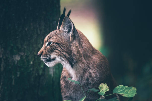Eurasian lynx sitting in woodland. Side view. stock photo