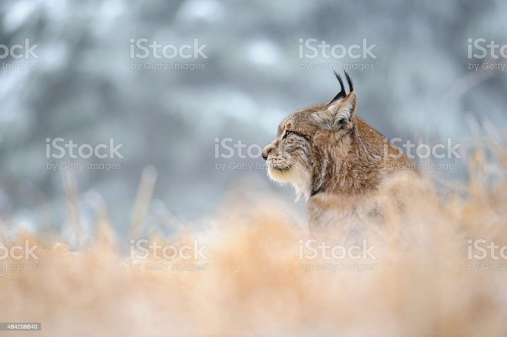 Eurasischer Luchs sitzen auf Boden im winter Zeit – Foto