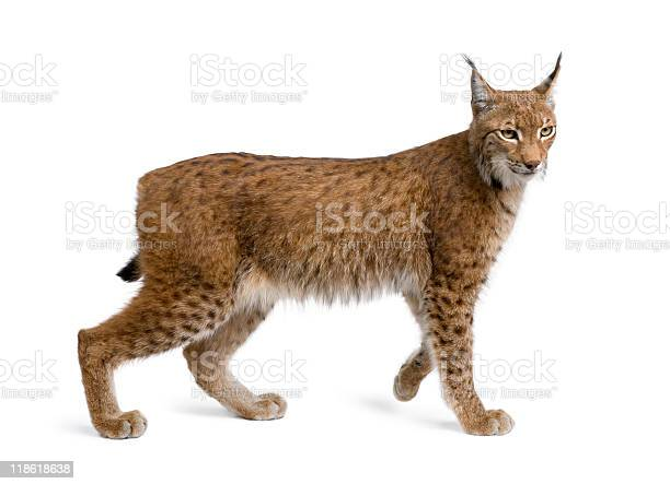 Eurasian lynx standing in front of white background picture id118618638?b=1&k=6&m=118618638&s=612x612&h=bnhtdmhiwu5nn7srysacw ugtpoduxanhj6w9gew95s=