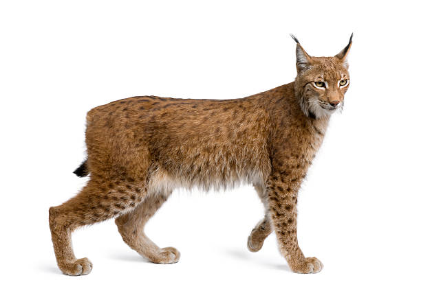 Eurasian lynx standing in front of white background picture id118618638?b=1&k=6&m=118618638&s=612x612&w=0&h=zycg hg2pm8n brcrbs4i0cxodrqn10wvehorwjyway=