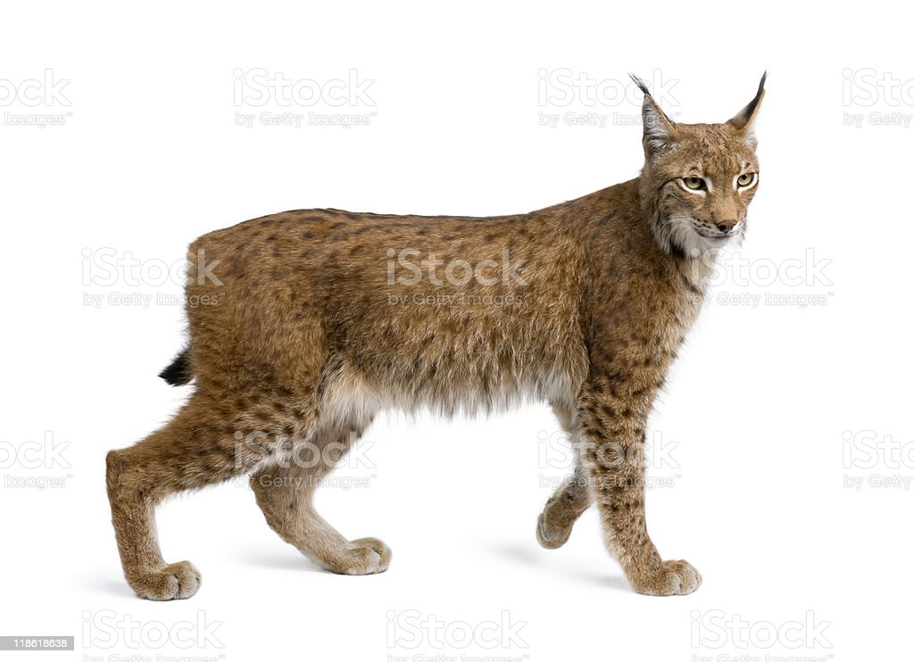 Eurasian Lynx standing in front of white background stock photo