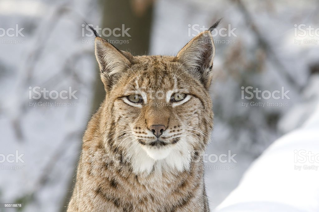 Eurasian Lynx staring at camera in a snowy forest stock photo