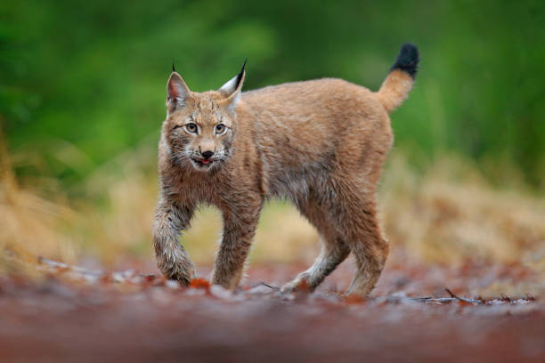 Eurasian lynx walking. Wild cat from Germany. Bobcat among the trees. Hunting carnivore in autumn grass. Lynx in green forest. Wildlife scene from nature, Czech, Europe. stock photo