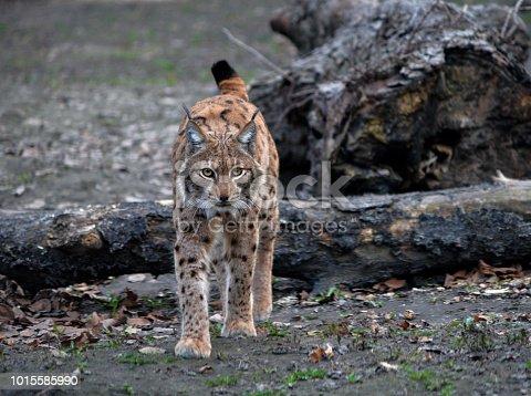 Eurasian lynx (Lynx lynx) walking on snow in Zoo
