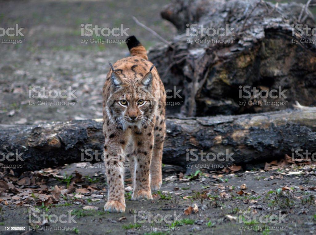 Eurasian lynx Zoo stock photo