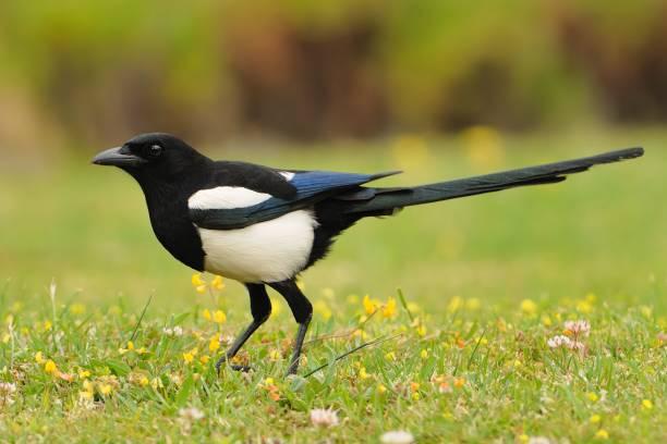 euraziatische ekster - pica pica op het groene gras. - ornithologie stockfoto's en -beelden