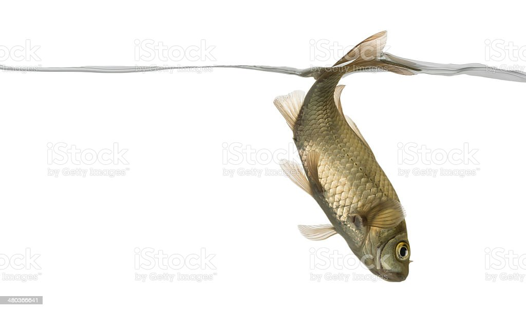 Eurasian minnow swimming down, under water line, Phoxinus phoxin royalty-free stock photo