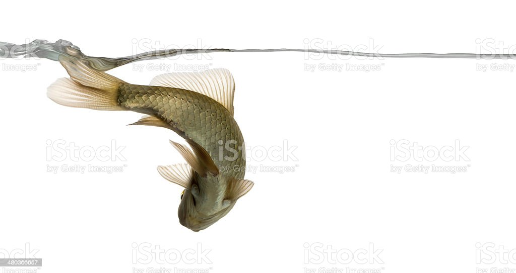 Eurasian minnow viewed from below, swimming under water line stock photo