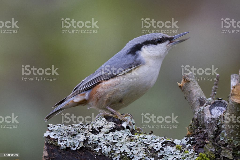 Eurasian nuthatch in profile royalty-free stock photo