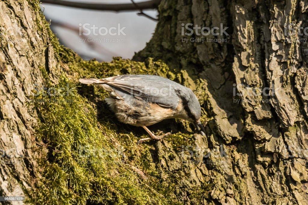 歐亞或木幣鳥 Sitta 橄欖 - 免版稅勃蘭登堡州圖庫照片
