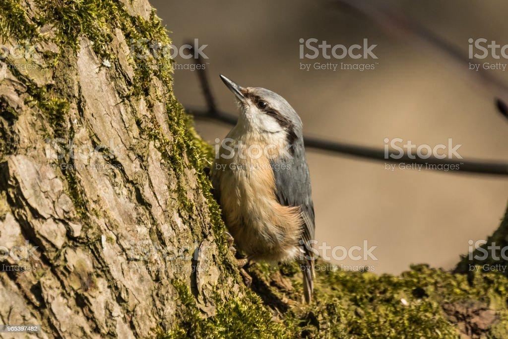 Trepadeira-azul da Eurásia ou madeira Sitta europaea - Foto de stock de Alemanha royalty-free