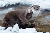 close up of a eurasian otter on a frozen river holding a piece of wood like a phone, germany