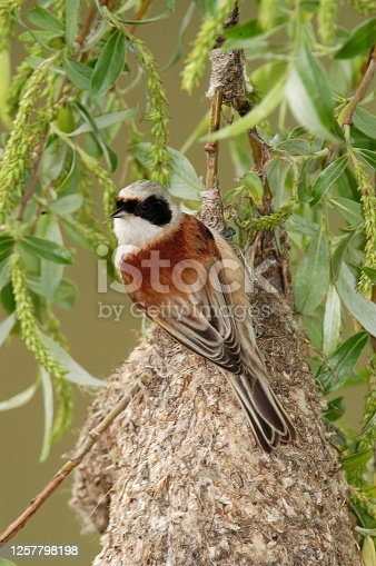 Penduline tit while building the nest