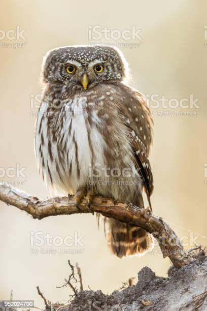 Eurasian pygmy owl picture id952024700?b=1&k=6&m=952024700&s=612x612&h=dduxadkghnjfq1ujlcwkrn3upzc5jdgpi6strbsgfxe=