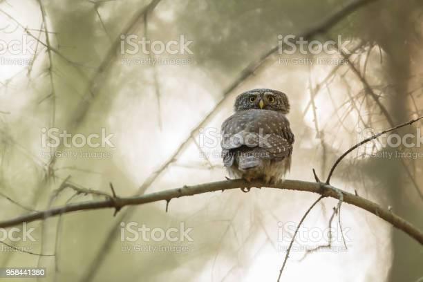 Eurasian pygmy owl picture id958441380?b=1&k=6&m=958441380&s=612x612&h=6vsximdmluw uatugqauq25s2bu5aty6zc3z4k8aze4=