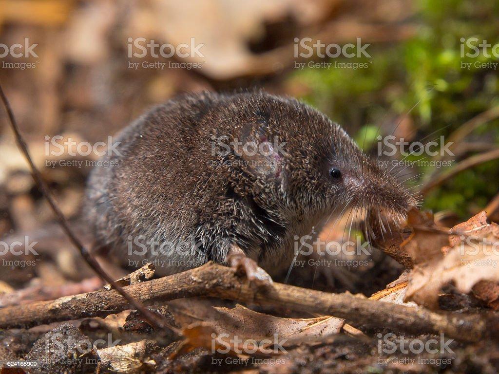 Eurasian pygmy shrew in forest stock photo
