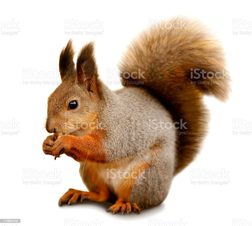 Eurasian red squirrel in front of a white background stock photo