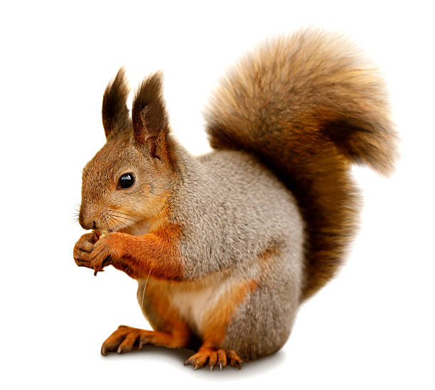 eurasian red squirrel in front of a white background - squirrel stock photos and pictures