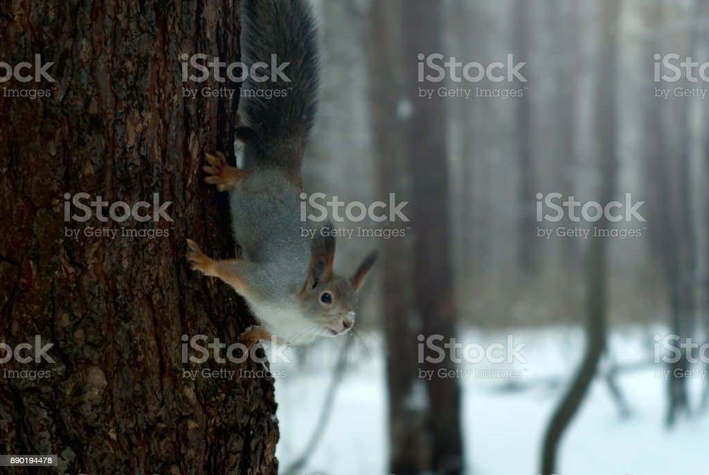 Eurasian red squirrel in grey winter coat with ear-tufts in the winter snow-covered forest in the Ural region stock photo