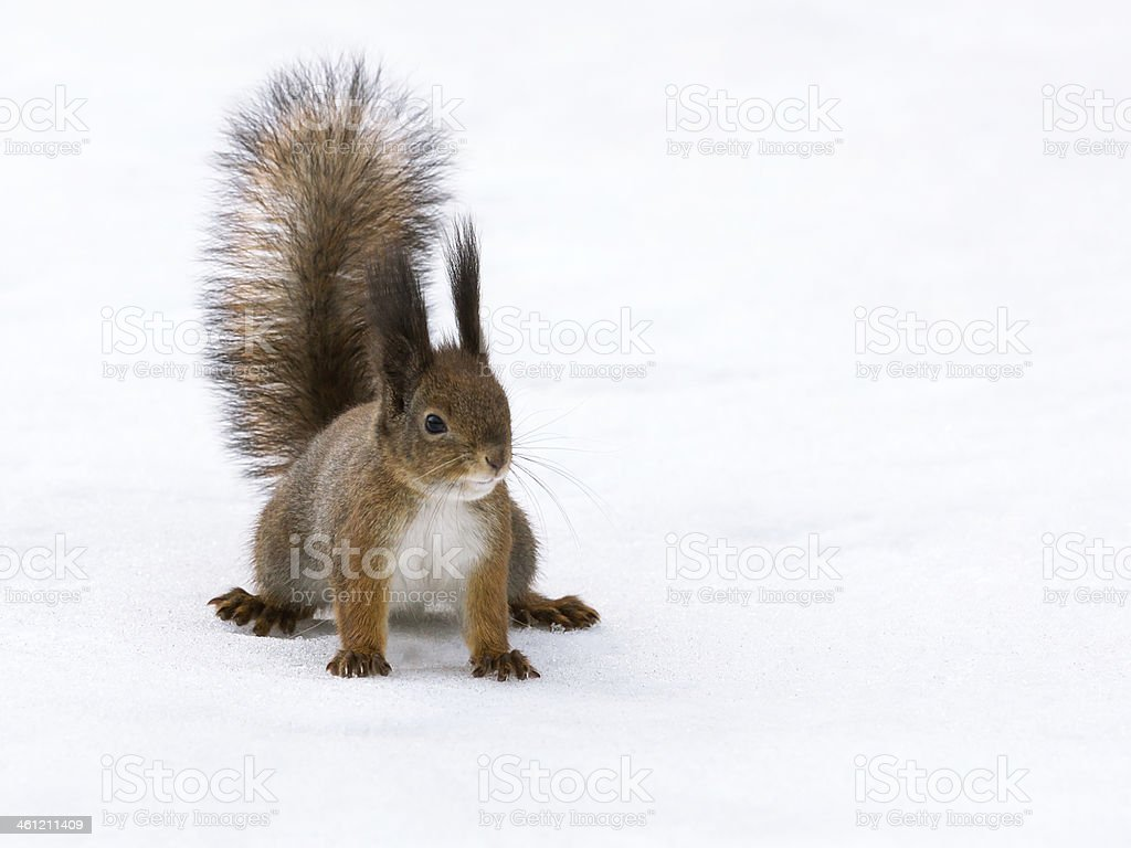 Eurasian red squirrel in snow stock photo
