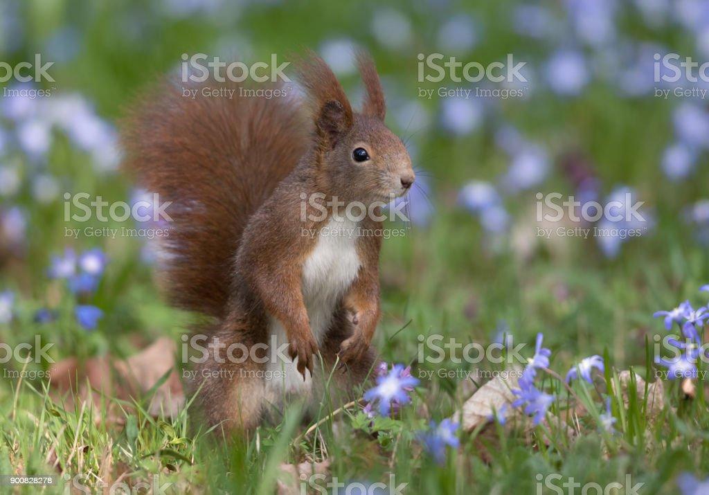 Eurasian red squirrel (Sciurus vulgaris) in spring stock photo