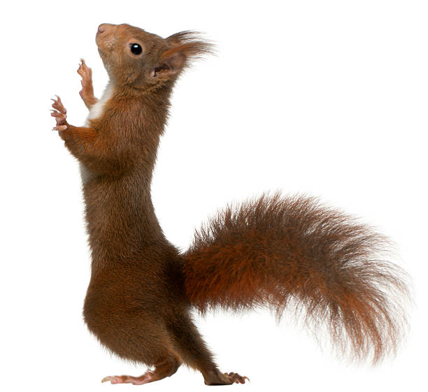 eurasian red squirrel on white background - squirrel stock photos and pictures