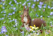 Eurasian red squirrel standing in a flower meadow.