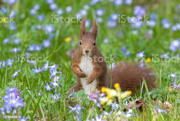 Photo of Eurasian red squirrel