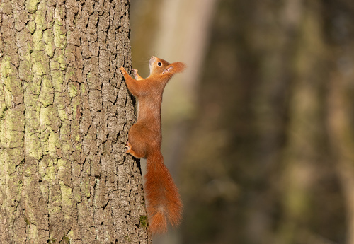 Eurasian red squirrel climbing on a tree.