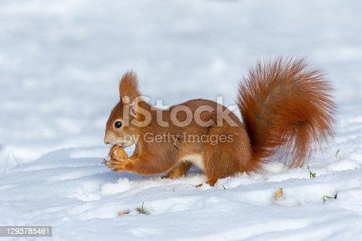istock Eurasian red squirrel 1293785461